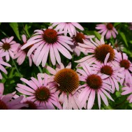 بذر اکیناسه آنگوستی فولیا  -  NARROW-LEAVED PURPLE CONEFLOWER