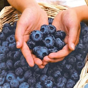 نهال بلوبری چندلر -  Chandler blueberry