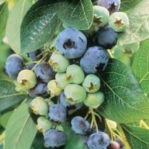 بذر بلوبری چندلر -  Chandler blueberry