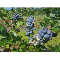 بذر بلوبری اونیل - O'Neal Blueberry