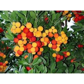 نهال آربوتوس (درخت توت فرنگی ایرلندی)