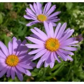 بوته گل مینا دائمی سردسیر (Alpine Aster)