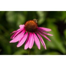 بذر سرخار گل (Purple coneflower)