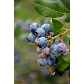 نهال بلوبری دارو (Darrow Blueberry)