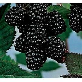 بذر توت سیاه