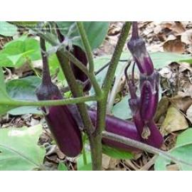 بذر بادمجان (Eggplant)