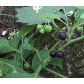 بذر تاجریزی سیاه (Black nightshade)