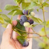 بذر بلوبری پاتریوت - Blueberry Patriot