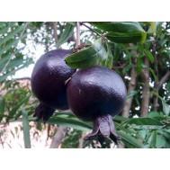 نهال انار سیاه درشت کمیاب