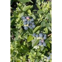 بذر بلوبری شارپ بلو - Sharpblue Blueberry