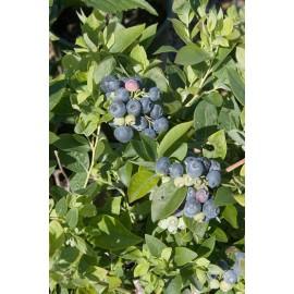 نهال بلوبری شارپ بلو (Sharpblue Blueberry)
