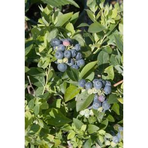نهال بلوبری شارپ بلو - Sharpblue Blueberry