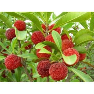 نهال توت فرنگی درختی یا یانگ می چینی