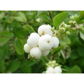 نهال اسنو بری (snowberry)