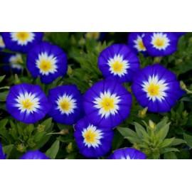 بذر گل نولانا (Nolana Paradoxa)