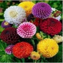 بذر آهار پا متوسط، پرپر، الوان، گل درشت