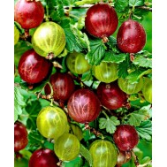 نهال گوسیبری قرمز یا انگور فرنگی سیبری