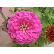 بذر گل آهار   COMMON ZINNIA
