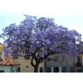بذر درخت پالونیا (Empress tree)
