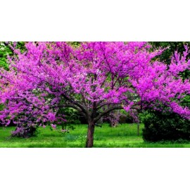 بذر درخت گل ارغوان