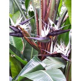 بوته استرلیتزیا سفید (Natal Wild Banana)