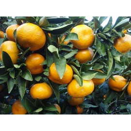 نهال نارنگی هاشیموتو پاکوتاه