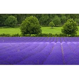 بذر اسطوخودوس انگلیسی ( English lavender )