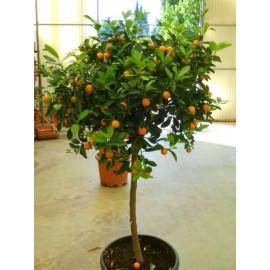نهال پرتقال زینتی