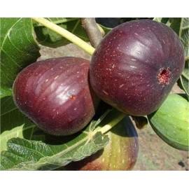 نهال انجیر سه فصل (King Fig)
