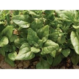 بذر اسفناج نیوزیلند ( New Zealand spinach )