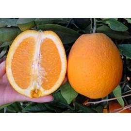 نهال پرتقال مارس