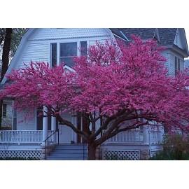 نهال درخت ارغوان شرقی (Eastern redbud)