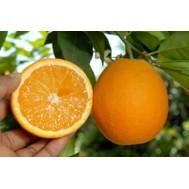 نهال پرتقال تابستانه والنسیا