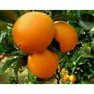 نهال پرتقال ناوال واشنگتون (بسیار درشت)