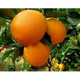 نهال پرتقال ناوال واشنگتون