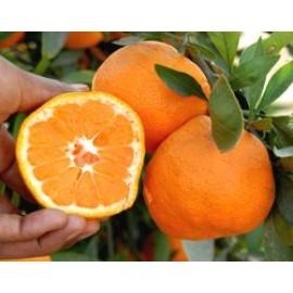 نهال نارنگی ایشیکاوا پاکوتاه