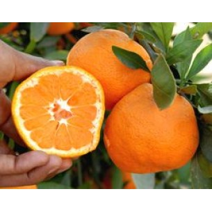 نهال نارنگی ایشیکاوا