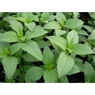 بذر ریحان سبز ایرانی 10 گرم