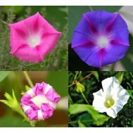 بذر گل نیلوفر پیچ چند رنگ