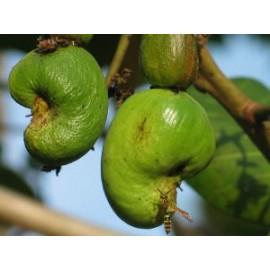 بذر بادام هندی وحشی (Wild cashew)