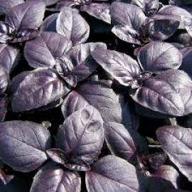 بذر ریحان بنفش (Purple Basil)