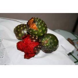 نهال دراگون فروت قرمز مکزیکو یا پیتایاس