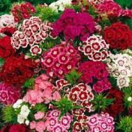 بذر گل قرنفل میکس چند رنگ