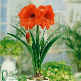 گل آماریلیس نارنجی