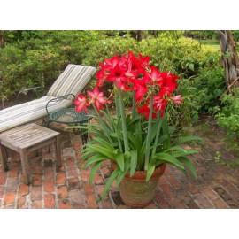 گل آماریلیس قرمز (Amaryllis)