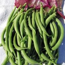 بذر لوبیا سبز درجه 1