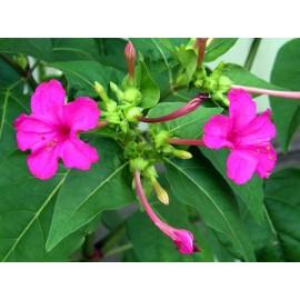 بذر گل لاله عباسی