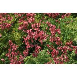 بذر گل بارانی فلوریدا
