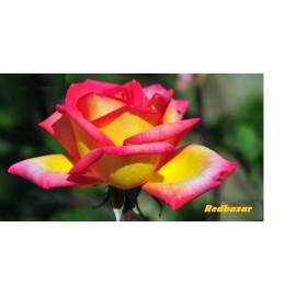بوته گل رز هفت رنگ هلندی