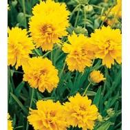 بذر گل کورئوپسیس یا بذر شاه اشرفی